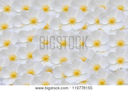 White Rose Hips  Background..