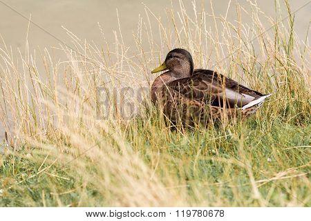 Portrait of a mallard duck sitting in the tall grass