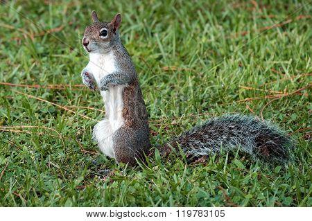Alert Eastern Gray Squirrel s