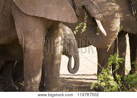 Baby elephant eats in Serengeti