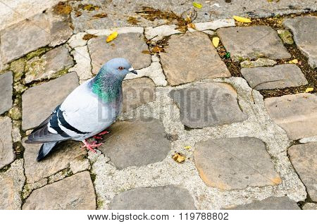 A Pidgeon In Paris, France