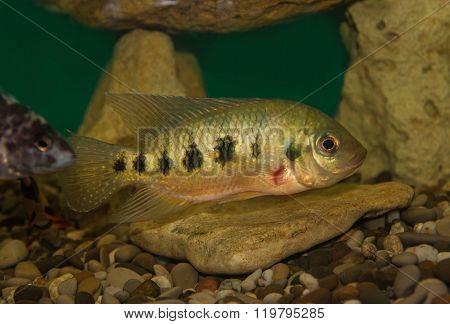 Central American fish Cichlasoma family in the aquarium