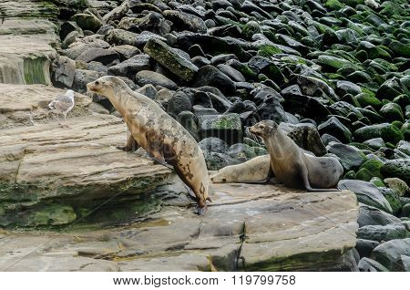 Sea Lion Climbing On Rocks
