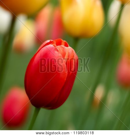 Tulip flower for the holiday