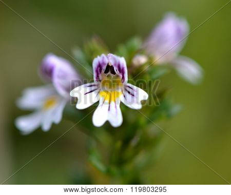 Common eyebright (Euphrasia nemorosa) close up of flower