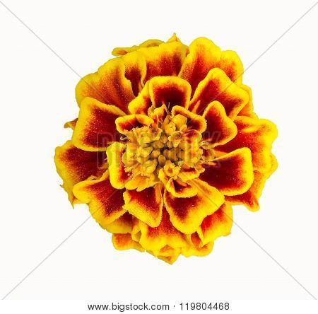 Marigold Flower On A White Background