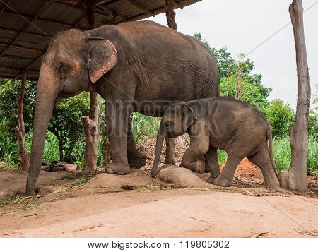 A Mother Elephant With Her Baby At Elephant Village, Thailand.
