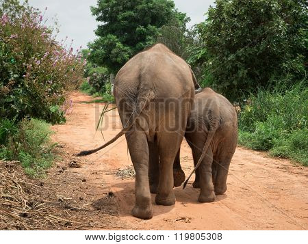 Rear View Of An Elephant With Her Baby At Elephant Village, Thailand.