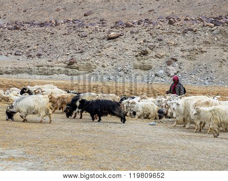Ladakhi Herdsman And Goats