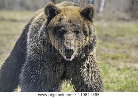 A Brown Bear In The Forest. Big Brown Bear