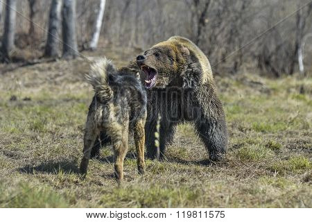 Big Brown Bear With Dog