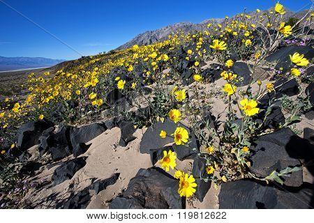 Desert Gold #5