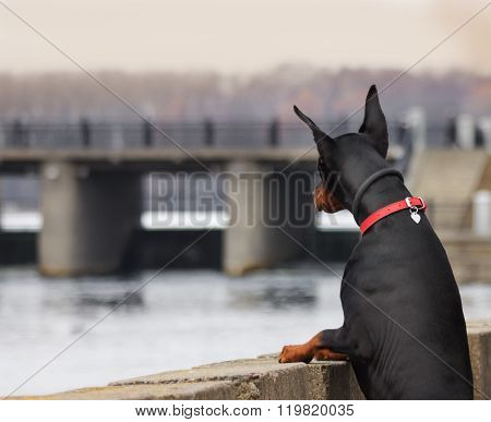 Doberman Relaxes And Looks Over The River