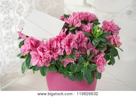 blooming azalea in pink flowerpot blank card free place text