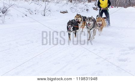 the dogs in harness pulling a sleigh competitions