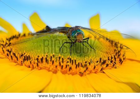 dragonfly sat on a sunflower in summer day