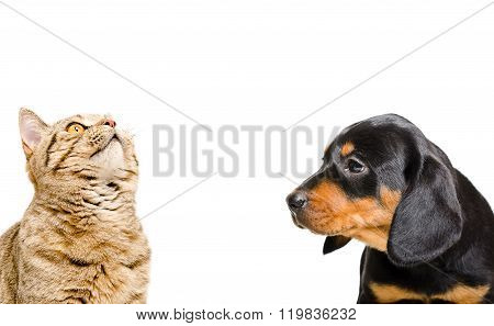 Portrait of Scottish Straight cat and puppy breed Slovakian Hound
