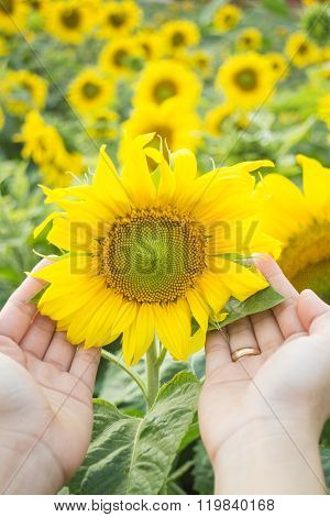 Beautiful Sunflower Plant On Hand