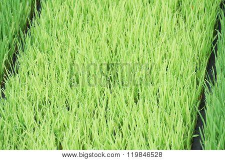 Paddy Seedlings in the nursery