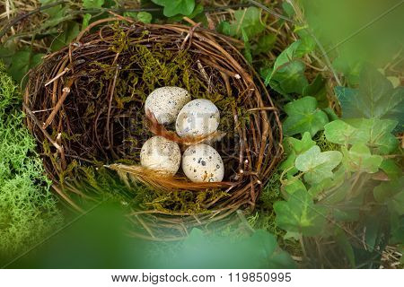 View through blurred leaves into a bird's nest with blue eggs