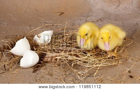 Straw nest with feathers and broken eggshells and yellow ducklings