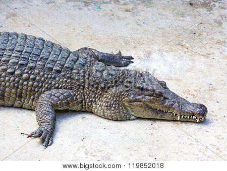 crocodiles close up