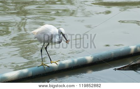 white Bird Catch And Eat Fish