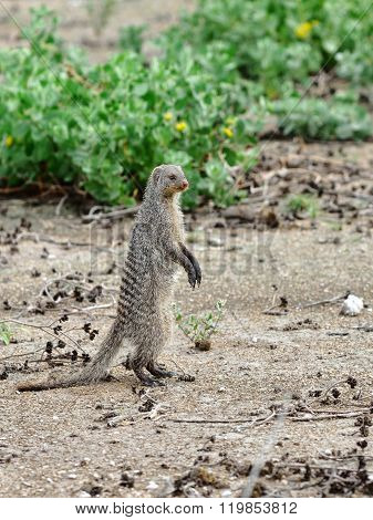 Mongoose In Namibia, Africa