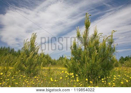 Young Pine Tree Among Grass And Yellow Flowers