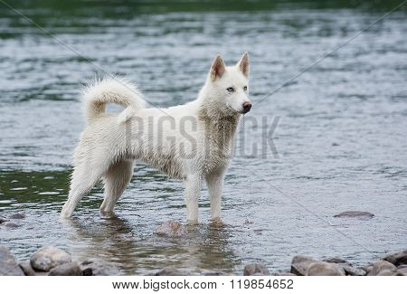 Huskie running in the water, dog enjoy in the river, dog swimming, portrait of swimming dog in wild