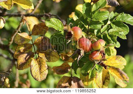 Mature Nice Red Briar Berries