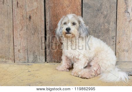 Closeup of a stray dog sitting in front of a weathered wood fence.