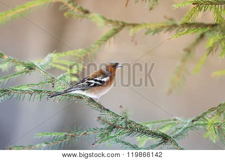 Chaffinch sings on the branches