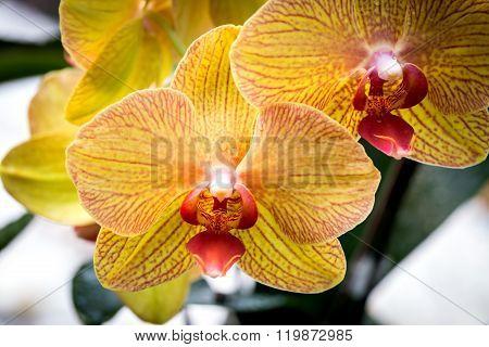 Phalaenopsis Yellow Orchid