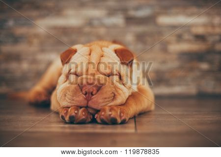 Shar Pei Puppy Sleeping On The Floor
