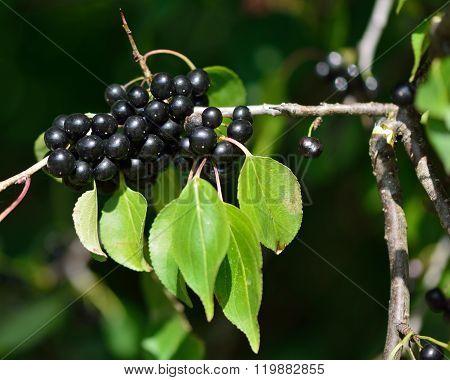 Buckthorn (Rhamnus catharticus)