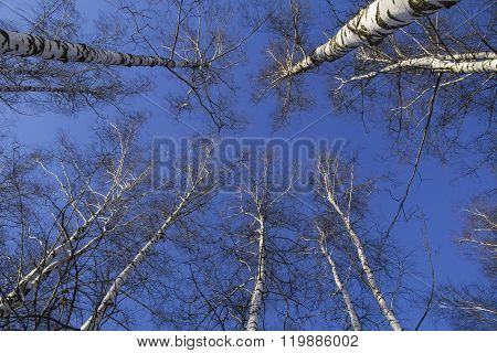 Treetops Against Blue Sky, From Below View. Russia.