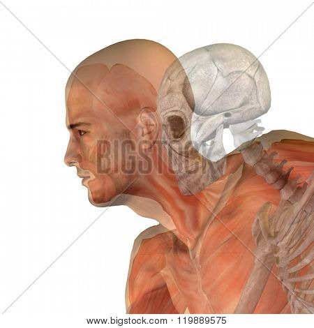 Human man or male 3D conceptual anatomy with bones or skeleton and face or skull details isolated on background