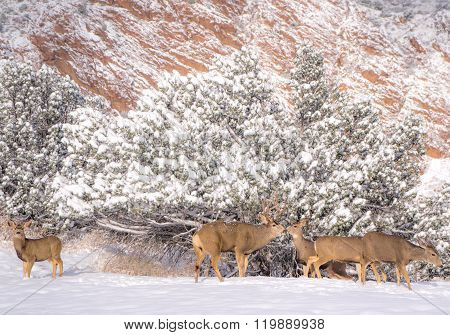 Mule Deer Buck And Does In Snow