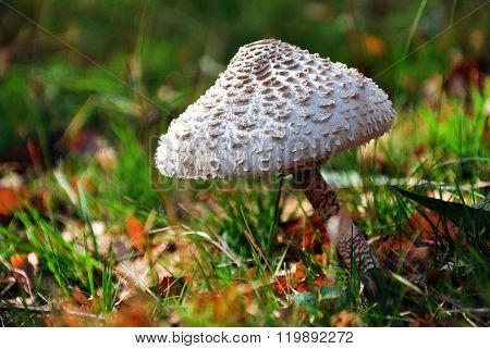 Delicious Parasol Mushroom, Macrolepiota Procera