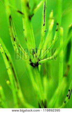 Equisetum Arvense, Common Horsetail Plant