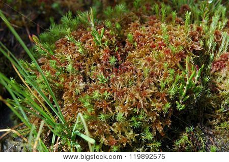 Green Moss, Turf Bog In The Spring