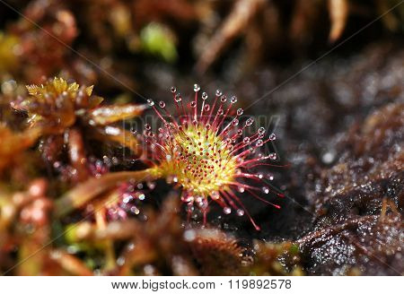 Carnivorous Plant Drosera In A Turf In The Spring