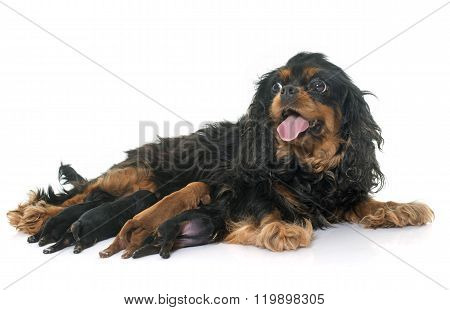 Mother Cavalier King Charles And Puppies