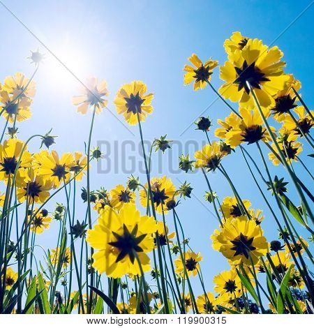 Yellow flowers on blue sky background. Upwards view.