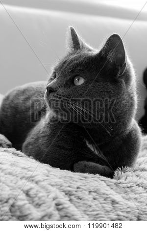 BREED CAT