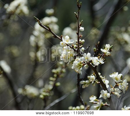 Plum twig with white blossoms in spring.