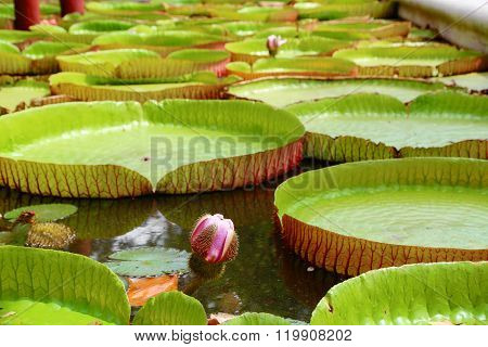 Water Lily With Giant Leaves.