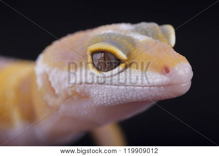 Close-up Of Yellow And White Gecko