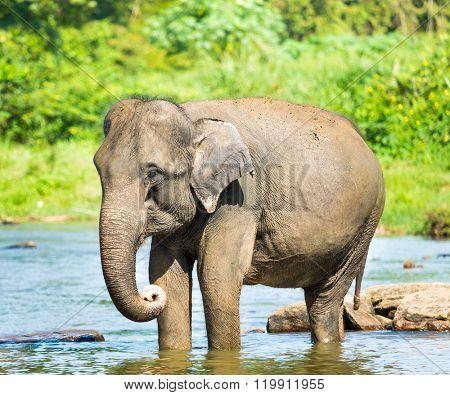 Elephant bathing in a river. Sri Lanka